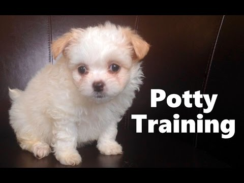 How To Potty Train A Shiranian Puppy - Shiranian House Training Tips - Shiranian Puppies