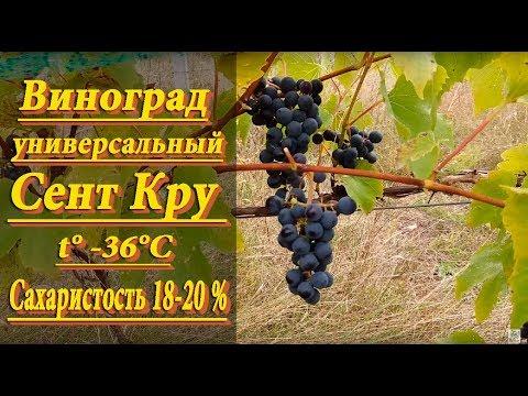 Виноград Сент Кру универсальный сорт винограда, ранне-среднего срока созревания.