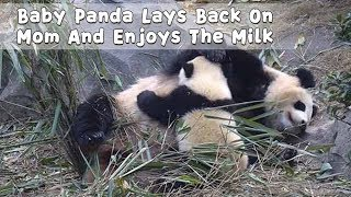 Baby Panda Lays Back On Mom And Enjoys The Milk | iPanda