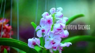Sreevidya Orchids