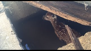 Fawn Rescued From Water and Reunited With Mother