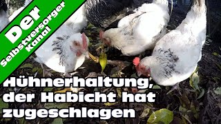 Habicht und Hühner. Was tun?