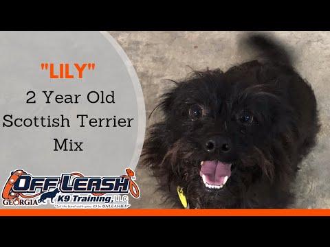 Lily | 2 Year Old Scottish Terrier Mix | Small Breed Dog Training | 2 Week Board & Train | Atlanta