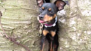 Min Pin Jumping Inside Tree!