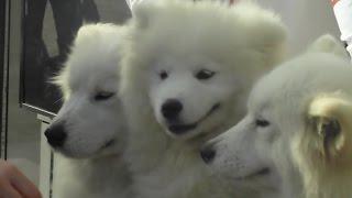 Одесса, 1-е апреля, собаки на Дерибасовской
