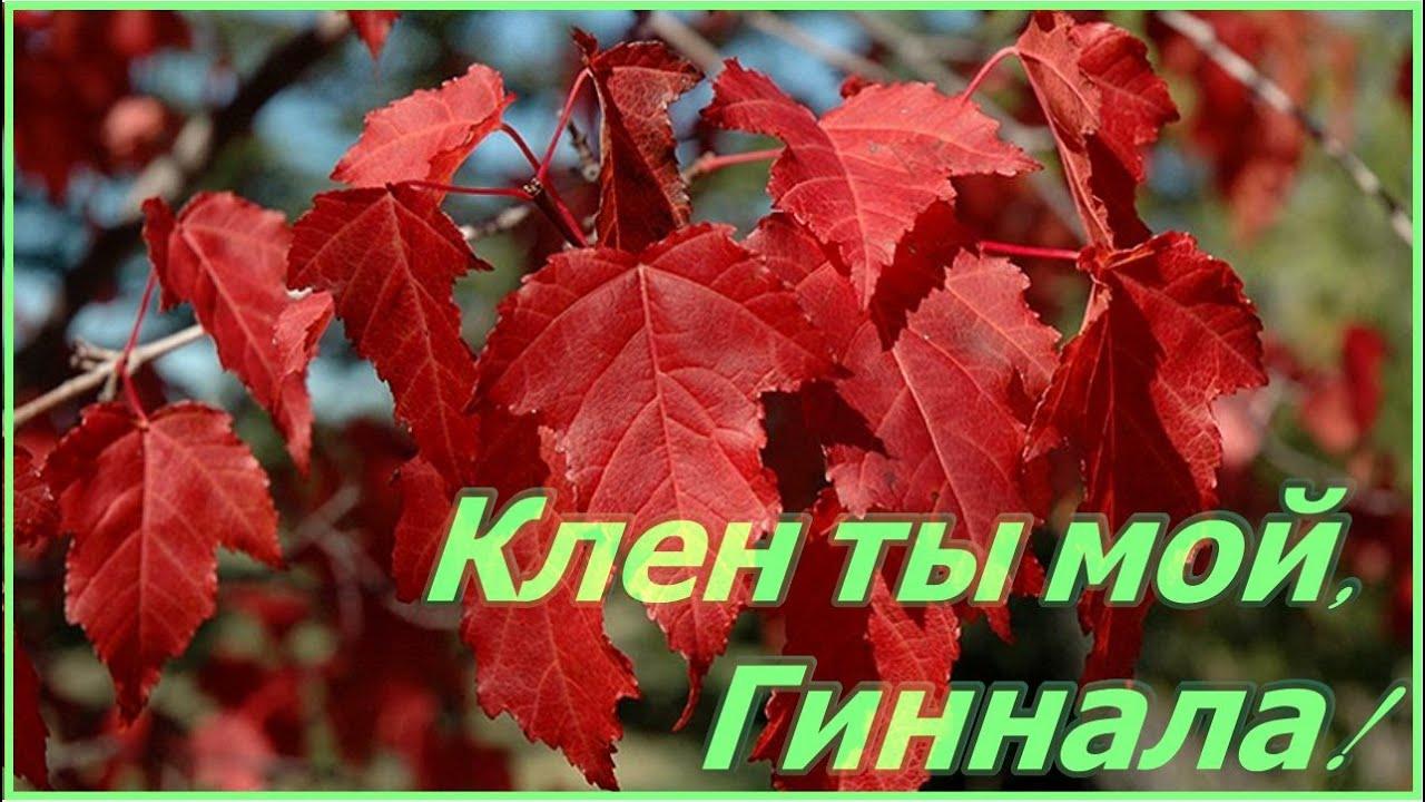 Дерево, которое очень быстро растет - клен Гиннала , выращивание и особенности.