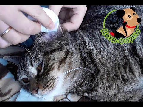 Как правильно чистить уши котам