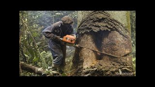 Amazing Dangerous Fastest Chainsaw Skills Tree Felling, Heavy Biggest Cutting Down Tree Machines