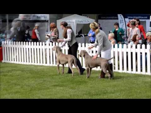 Weimaraners at Three Counties Championship dog show 2016 (Ice theme)