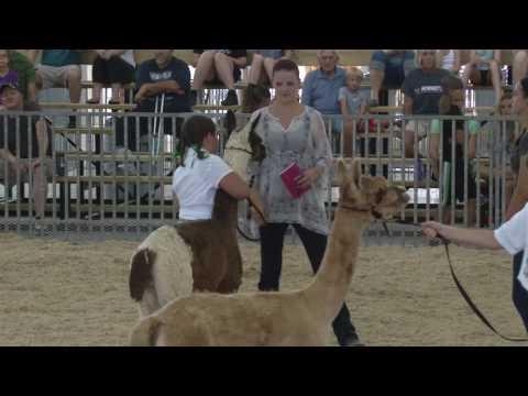 Alpaca Show Full Coverage
