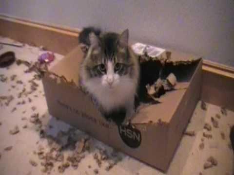 Norwegian Forest Cat Destroys HSN Box