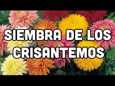 Como cultivar crisantemos c mo sembrar crisantemos mi - Como cultivar crisantemos ...