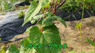 적하수오, 백하수오 잎으로 구분하는방법