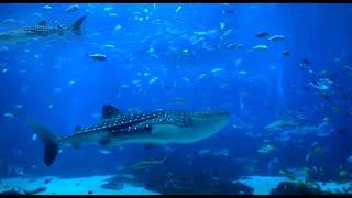 Beautiful Hd Aquarium Video   Georgia Aquarium (ocean Voyager I)