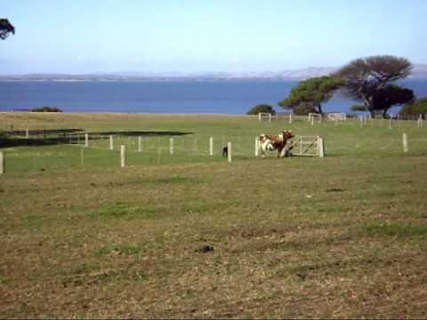 Baby Calf playing @ Phillip Island