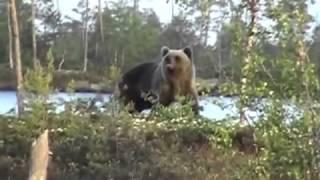ПРО нападение Медведя!!