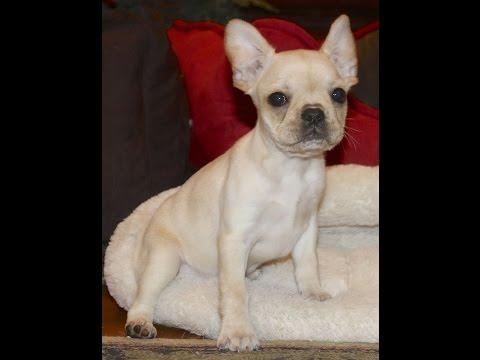 """Royal Frenchel """"Mandy"""" Hybrid French Bulldog Designer Breed"""