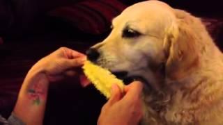 Golden Retriever Eating Corn-on-the-cob