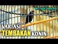 Tembakan Kolibri Ninja Full Gacor Suara Jernih  Mp3 - Mp4 Download