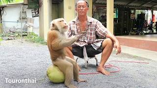 monkey training for Coconut orchard ศูนย์ฝึกลิง กระแดะแจะ ดูลิงเรียนปีนมะพร้าว น่ารักสุดไปเลย