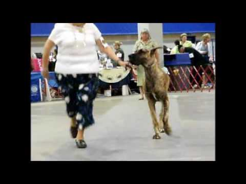 2016 GREAT DANE DOGS SHOW SPECIALTY GDC METRO WASHINGTON JULY 3