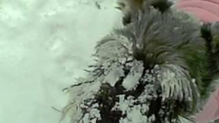 Miniature Schnauzer - Snow Face