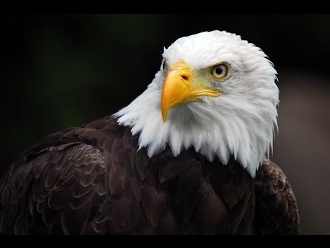 Best Documentary 2016 - American Eagle HD - Nature Documentaries - Nat Geo Wild