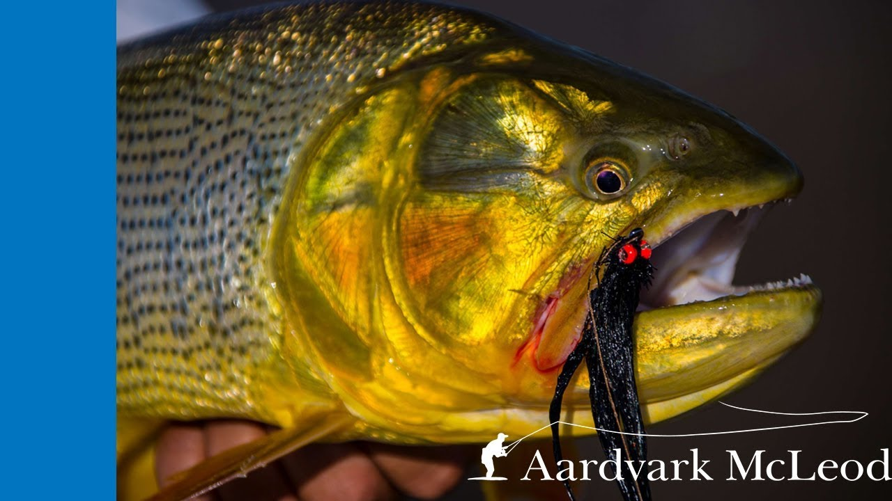 Crazy action on golden dorado in Argentina. Golden Dorado River Cruiser.