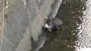 用水路に落っこちた子猫救出! thumbnail