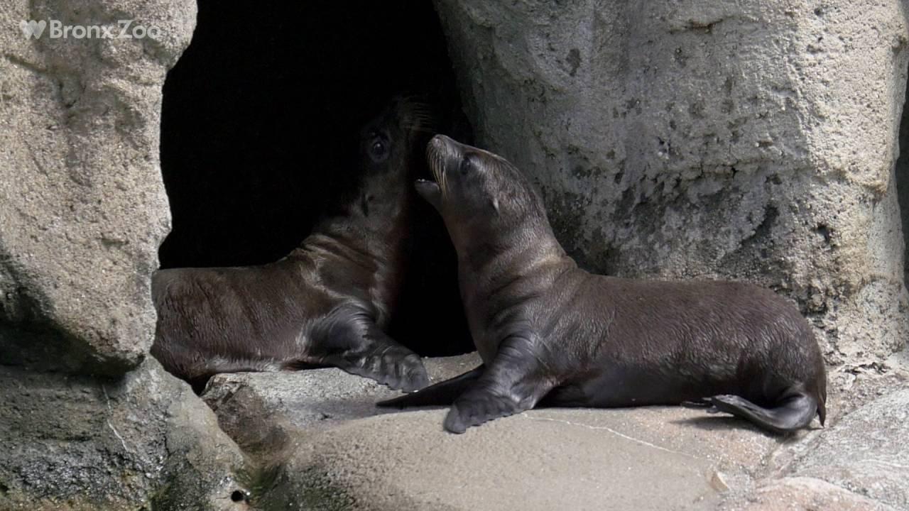 Sea lion pups bronx zoo youtube publicscrutiny Images