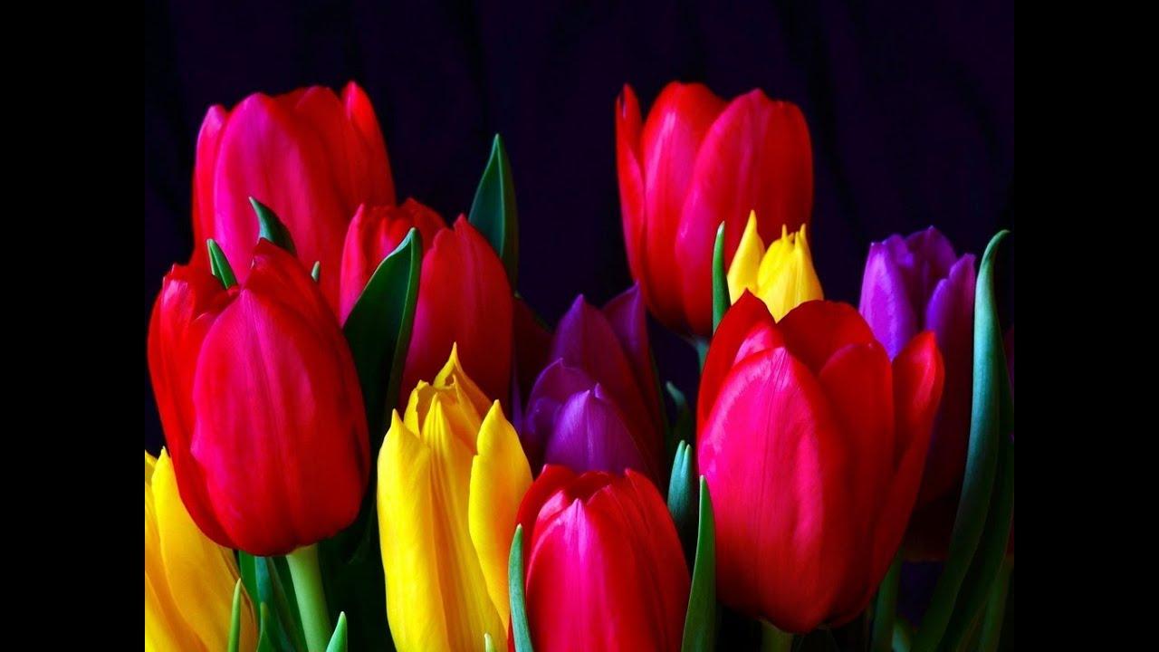 Тюльпаны цветы фото
