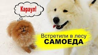 Шпиц встретил Самоеда в лесу на Новый год 2020 собака в сугробе Померанский шпиц 1 января 2020г