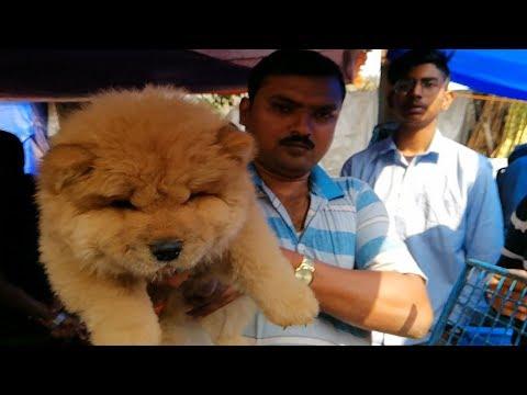 CHOW CHOW PUPPY l Galiff Street Pet Market Kolkata