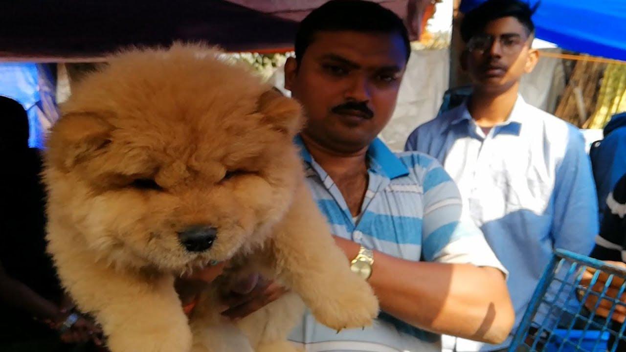 Chow Chow Puppy L Galiff Street Pet Market Kolkata Youtube