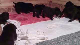 Щенки кане корсо (25 дней). Найди на видео своего щенка.