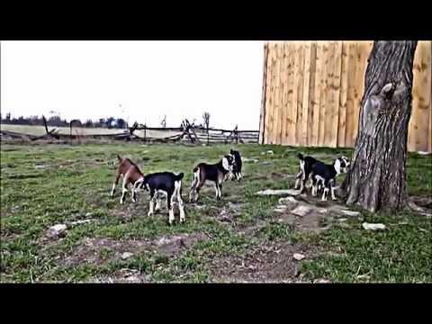Англо-Нубийские козы для продажи - YouTube