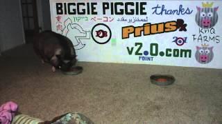 Biggie Piggie Vs Sunshine Colby Cheez Its v2.0.com