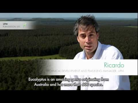 Why eucalyptus plantations