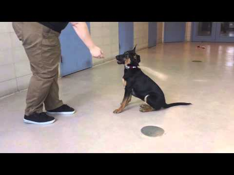 Majestic, a 4 month old Doberman Pinscher/Shepherd mix available for adoption at the Wisconsin Human
