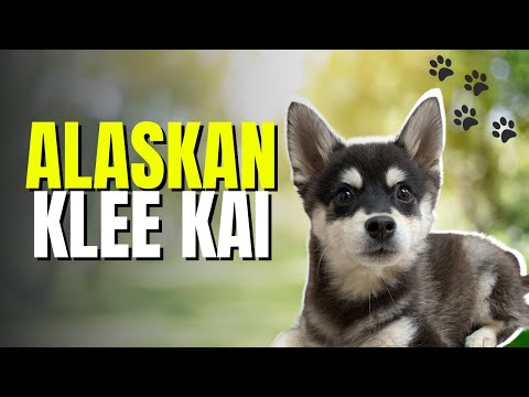 Alaskan Klee Kai - Dog Breed
