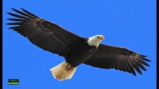 Eagle screeching sound