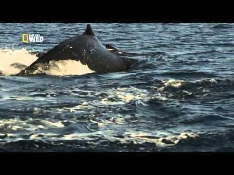 Как киты размножаются