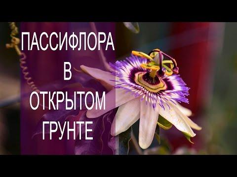 Пассифлора - лечебные свойства, противопоказания