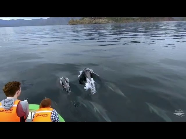 Dolphins leading the way to our snorkeling trip in Loreto, BCS, Mexico.