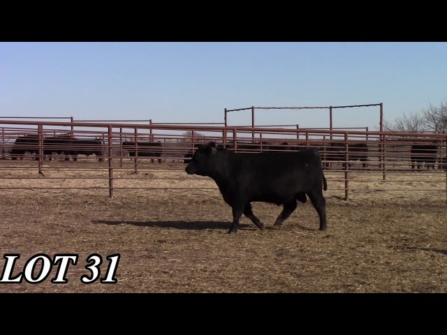 Mead Angus Farms Lot 31