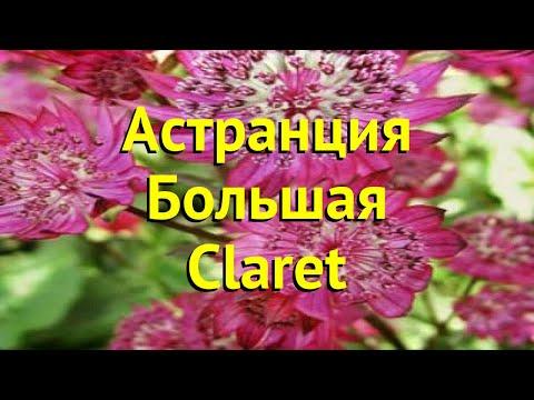 Астранция большая Кларет. Краткий обзор, описание характеристик astrantia major-hybr. Claret