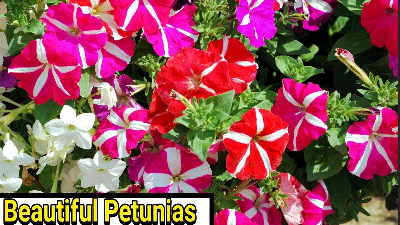 Petunias How To Plant Grow And Care For Petunias Youtube