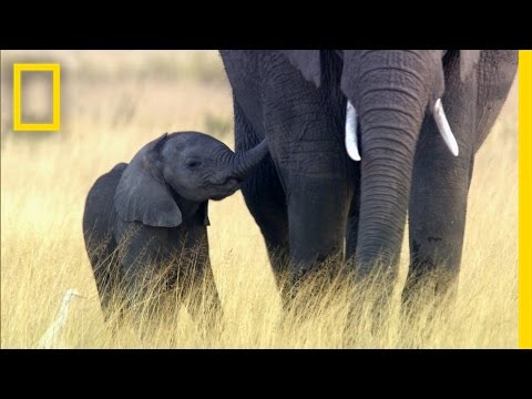 Why Elephants May Go Extinct in Your Lifetime | National Geographic