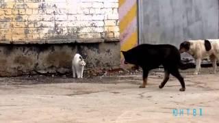 Кошка бойцовой породы. ЮНТВ1.