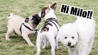 Milo visita un Dog Park | Pug puppy | Puppies playing | Cachorro Pug | THE PUG MILO EP. 4